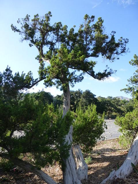 Tree In The Santa Barbara Botanic Garden P1100760 Flickr Photo Sharing