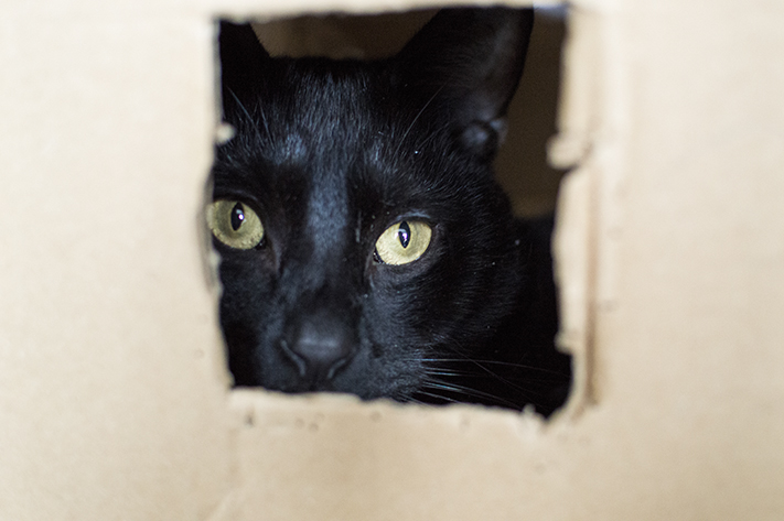 beautiful_black_kitty_animal