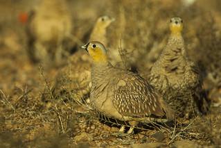 Crowned Sandgrouse - Marocco 07_3813