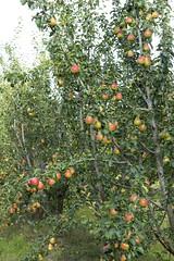 evergreen, shrub, fruit,