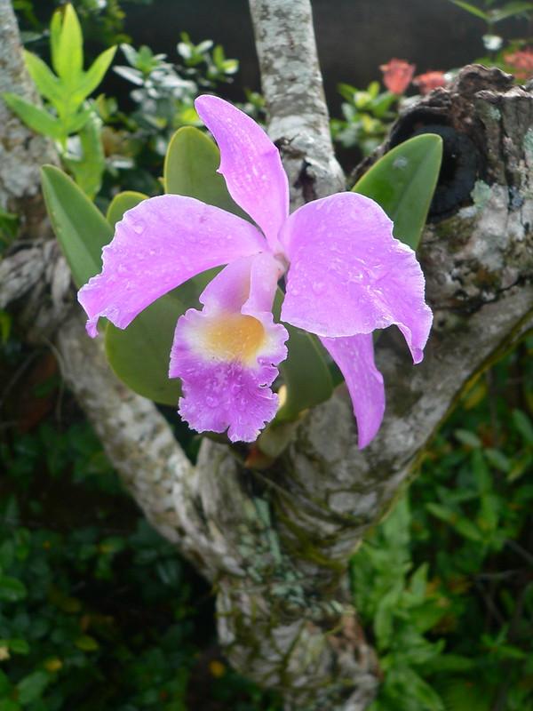 Dendrobium sp. et autres orchidées [id. non terminée] 16389996061_fab6daf83e_c