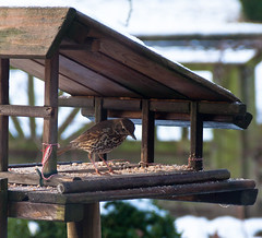 Song thrush in our ski jump bird feeder.