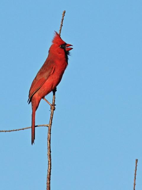 Northern Cardinal 3-20150305