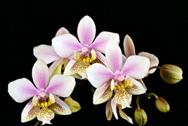 Phalaenopsis Wiganiae 16662567521_6ed1ac216d_z