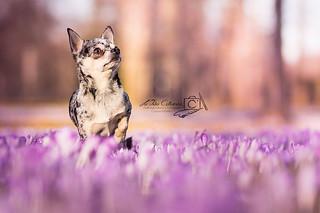 Chihuahua Kalle