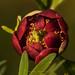 Paeonia californica