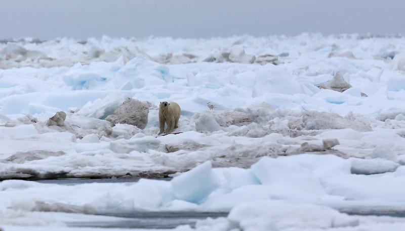 One of 3 Polars Bears seen