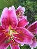 7.22.16 lily on walk