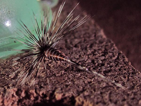 Mosca de León ahogada Tabaco marrón pardo sin muerte