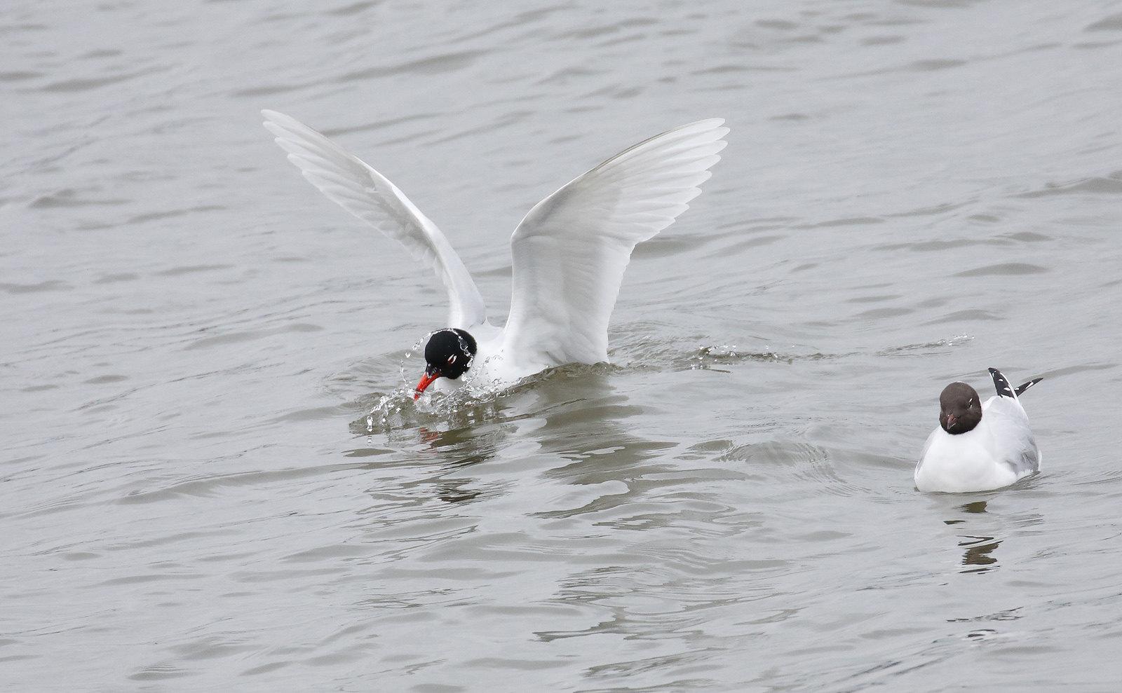 Adult [Summer] Mediterranean Gull and Black-headed Gull