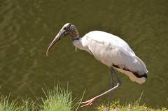 great egret(0.0), heron(0.0), spoonbill(0.0), egret(0.0), animal(1.0), wing(1.0), fauna(1.0), ciconiiformes(1.0), white stork(1.0), beak(1.0), ibis(1.0), bird(1.0), wildlife(1.0),