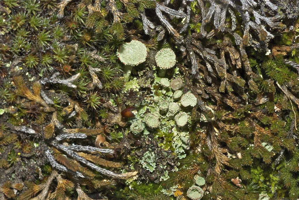 Pixie-cup Lichen (Cladonia pyxidata)?