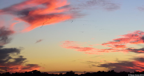 sunset bird birds flying inflight louisiana flight welsh greaterwhitefrontedgoose 2014 anseralbifrons flightshot hughesroad jeffersondavisparish gwfg yrarf hughesroadcrawfishfarm