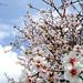 Small photo of Almond Tree Crescendo