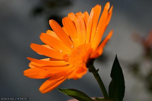 Orange Wild / CT / Sicilia.
