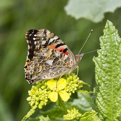 Bay Trail butterfly