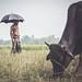 #cow #man #black #umbrella #paddy #horn #bera #pabna #bangladesh #people #lifestyle #canon700d by Extin©ted DiPu