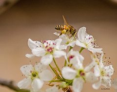Bees and Bradford Pear 8
