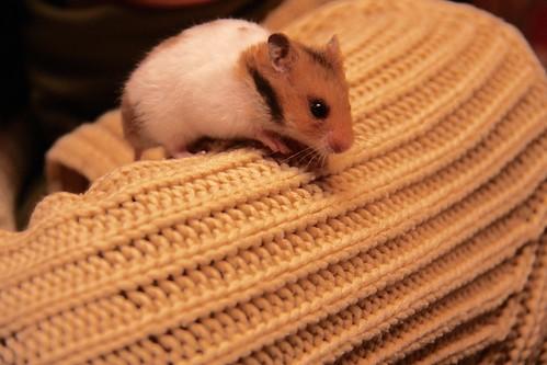 Bellota, the hamster