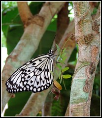 Idea Leuconoe Butterfly Puerto Princesa Palawan Philippines