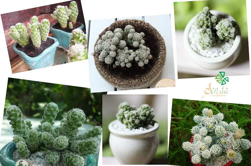 caysenda.com | sen da | xuong rong | tieu canh sen da | art plant | terrarium | xuong rong trung cut
