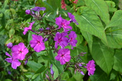 PHLOX paniculata 'Otley Purple'
