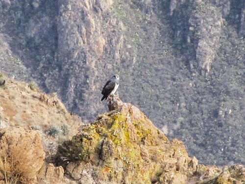Cañon de Colca: un autre oiseau