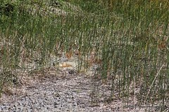 Can you see the coyote laying on the ground?