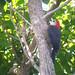 Jamaican Woodpecker (Tom Mabbett 2016 tour)