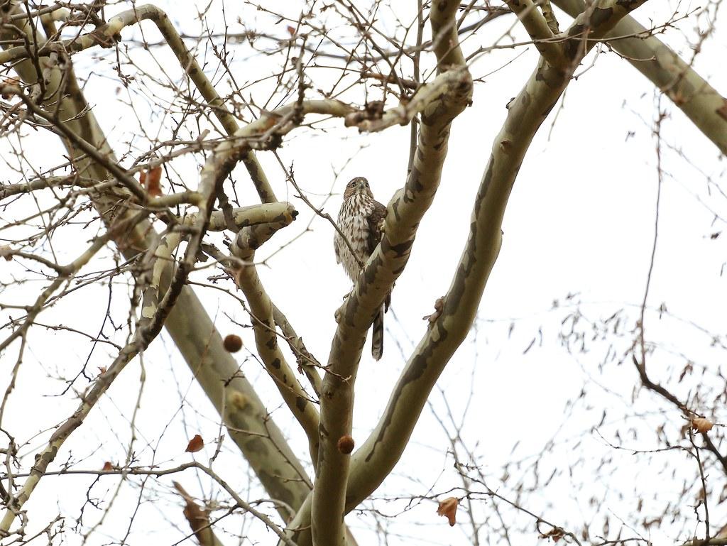 Juvenile Cooper's hawk in Tompkins Square