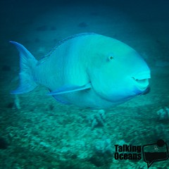 Smile and like if you love parrotfish! Songs have been written about them (http://youtu.be/J4nl8jPbkUU ) and entire reef conservation projects built on protecting them, due to the important process of them eating algae and clearing rock substrate so new c