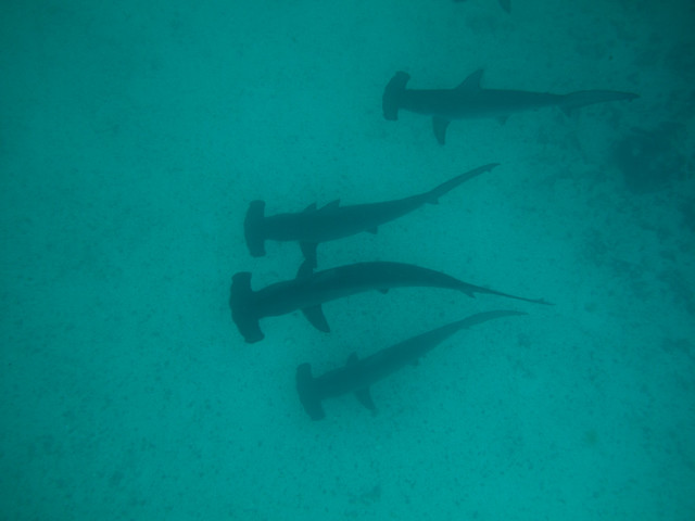 Scalloped Hammerhead Sharks på Gordon Rocks, Galápagos, Ecuador