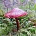 P1150543- Cortinaire sanguin - Forêt de Brenod  07 octobre 2014 by petite106