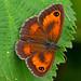 Pyronia tithonus - the Gatekeeper (male) by BugsAlive