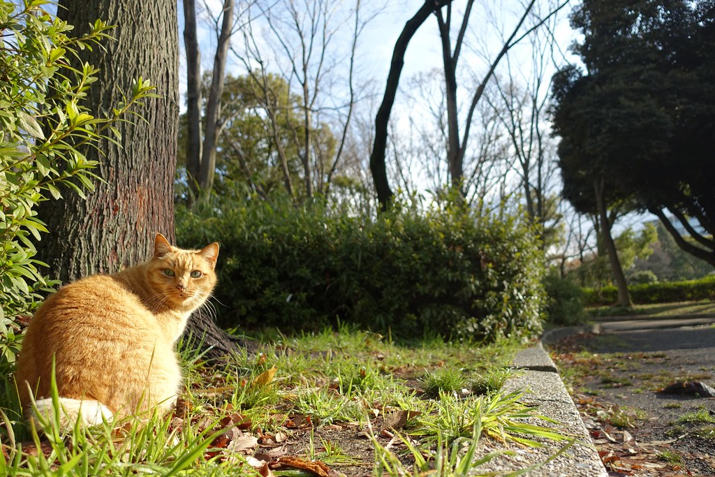 A cat in Mejo park 2015/03 No.1(One scene of commuting 2015/03 No.2).