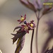R. Caulophyle faux-pigamon IIMG_3760 42