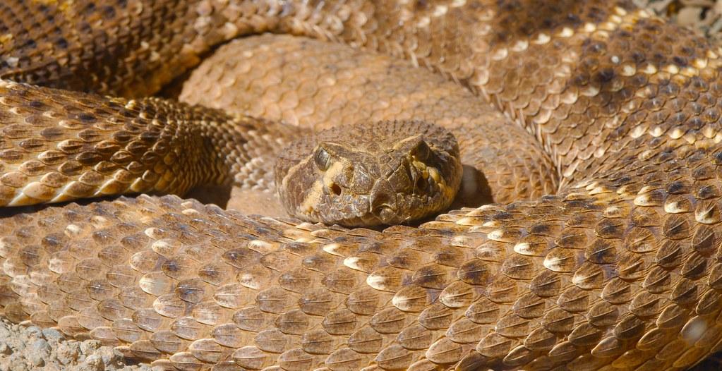 Western Diamondback Rattlesnake (Crotalus atrox)_1