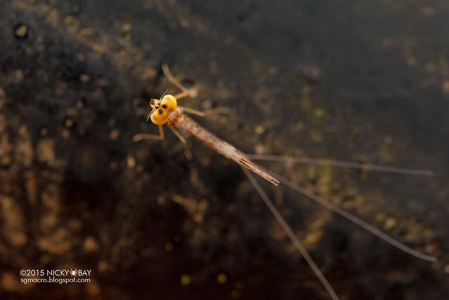 Mayfly (Ephemeroptera) - DSC_4685