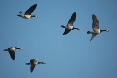 duck(0.0), canard(0.0), animal migration(1.0), animal(1.0), water bird(1.0), wing(1.0), fauna(1.0), waterfowl(1.0), flock(1.0), bird migration(1.0), ducks, geese and swans(1.0), bird(1.0), flight(1.0),