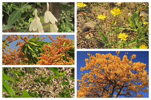 左上「白鶴靈芝」、左中「檬果花」、左下「苦楝」、右上「菟兒菜」、右下「黃花風鈴木」。攝影:李慧宜