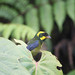 Golden-ringed Tanager (Benjamin Freeman)