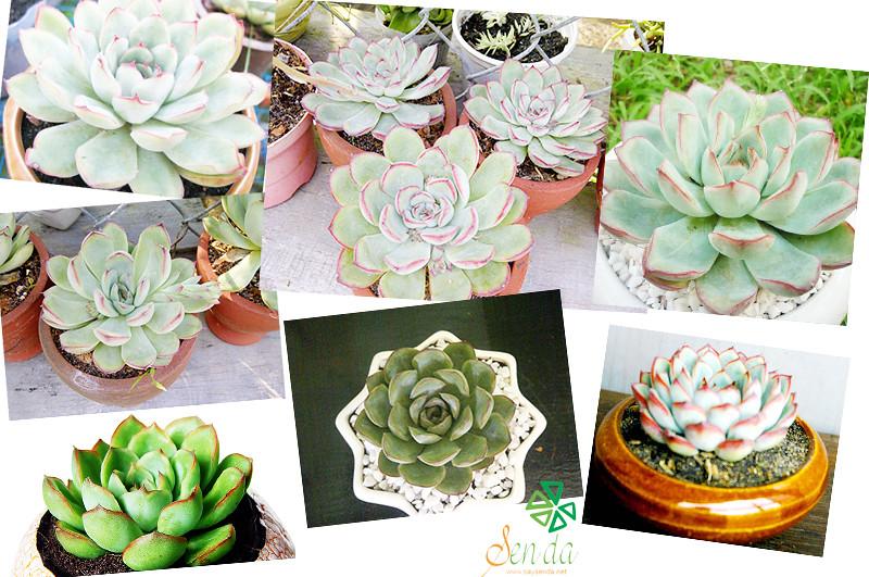 caysenda.com | sen da | xuong rong | tieu canh sen da | art plant | terrarium | sen vien hong