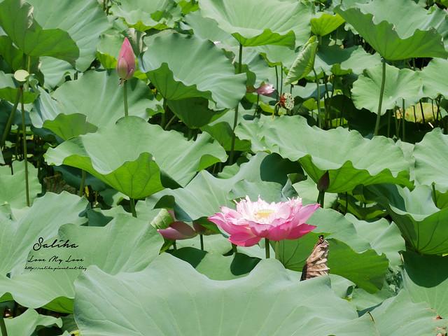 台北一日遊景點推薦植物園荷花蓮花池 (14)