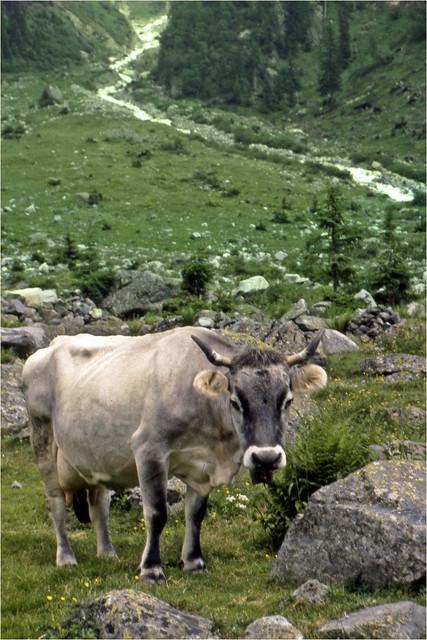 Austrian mountain dweller