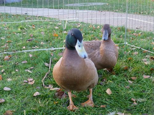 Ducks at Brixton Windmill 13/12/14