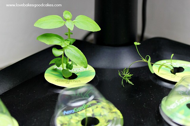 Try indoor herb gardening with the MiracleGro AeroGarden. It makes gardening so simple! Great gift idea too! #AeroGarden #ad