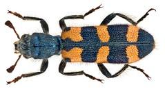 Trichodes leucopsideus (Olivier, 1795)