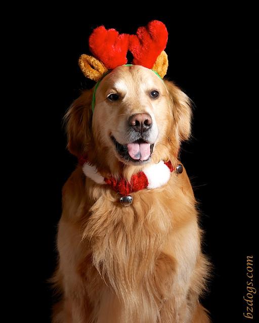 Golden Reindeer?