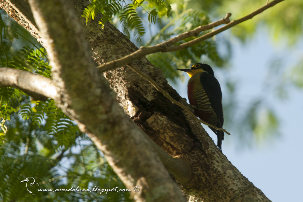 Carpintero arcoiris (Yellow-fronted woodpecker) Melanerpes flavifrons