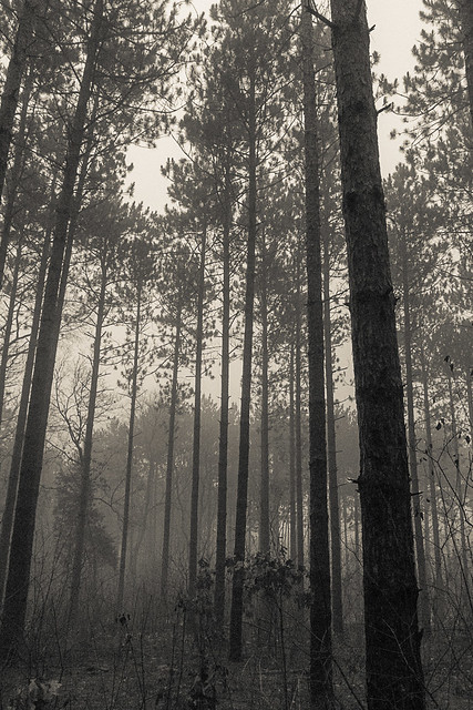 Pine Forest in Shroud
